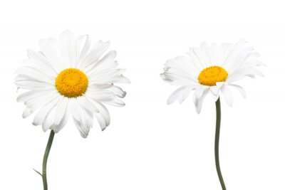 Fototapeta Piękne stokrotki białe kwiaty. Floral tapety.