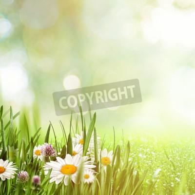 Fototapeta Piękno naturalne tła z rumianku kwiaty dla swojego projektu