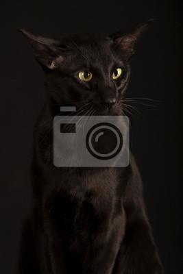 Piękny Czarny Kot Orientalny Fototapeta Fototapety Złośliwy