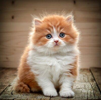 Fototapeta piękny kot brytyjski długowłosy kociak