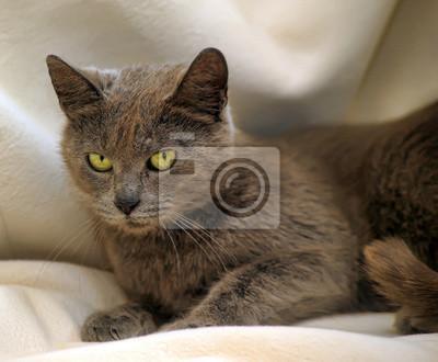 Piękny Kot Rasy Rosyjski Niebieski Fototapeta Fototapety Piękny