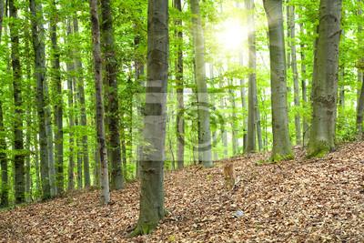 Fototapeta Piękny krajobraz z bukowego lasu i kostium