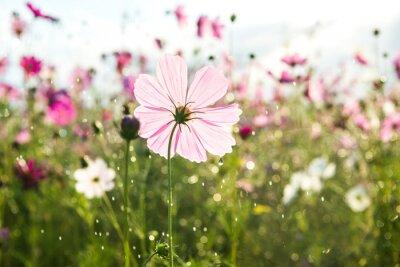 Fototapeta Piękny kwiat kosmos z deszczem