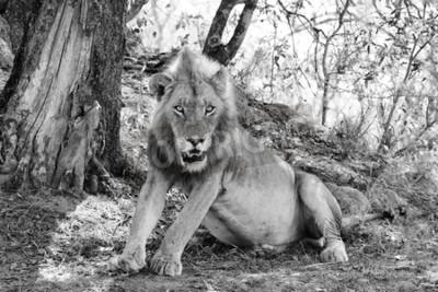 Fototapeta piękny lew