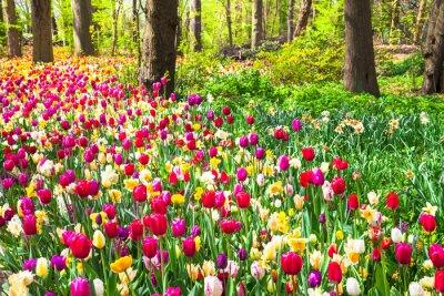 Fototapeta piękny ogród z kwitnących tulipanów w Keukenhof żywe parku, Holandia