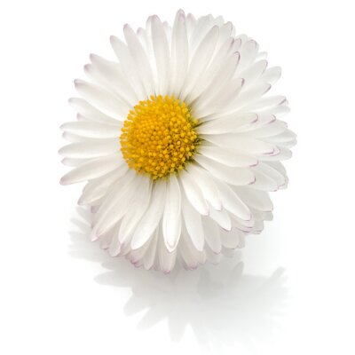 Fototapeta Piękny pojedynczy kwiat stokrotka samodzielnie na białym tle wycinanka