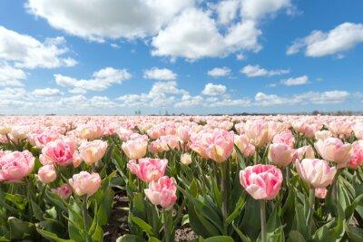 Fototapeta piękny różowy tulipan pola w słoneczny dzień