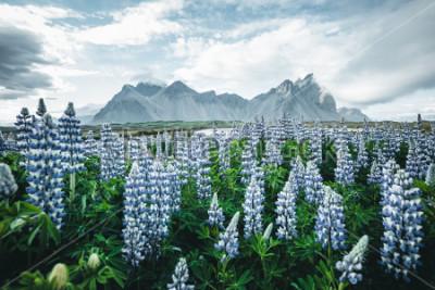 Fototapeta Piękny widok idealny łubin peruka na zdjęciu w dniu. Położenie Przylądek Stokksnes, Vestrahorn (Batman Mount), Islandia, Europa. Cudowny obraz krajobraz lato natura. Odkryj piękno ziemi.