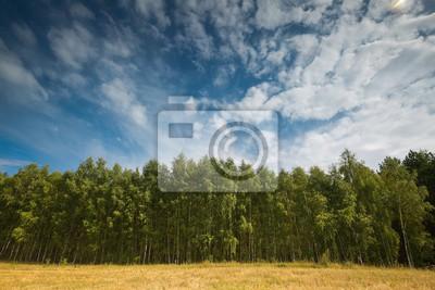 Fototapeta Piękny zielony las lato brzoza