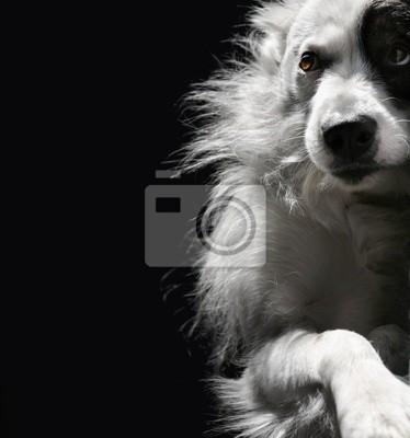 Czarno biały pies