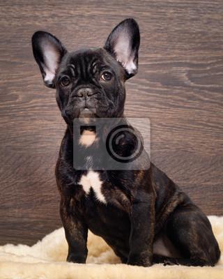 Pies Siedzi Na Drewnianej ścianie Francuski Bulldog Kolor Czarny