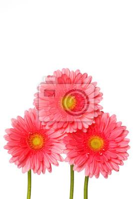 Fototapeta Pink gerbera kwiaty samodzielnie na białym tle