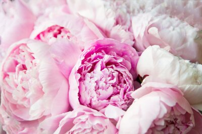 Fototapeta Pink peonies blossom background. Flowers.
