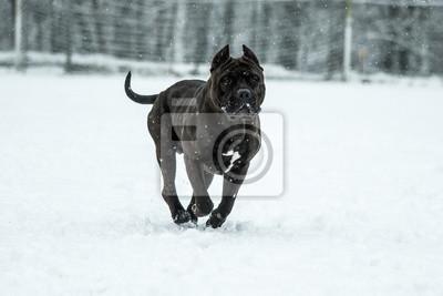 Pit Bull Dog American Bully Black Fototapeta Fototapety Niebezpieczny Snieg Potwor Myloview Pl