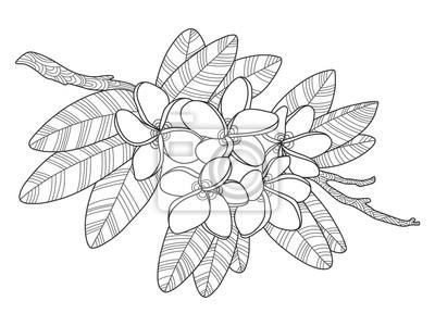 8565c7c8d66019 Plumeria kwiaty kolorowanka ilustracji wektorowych Fototapeta ...
