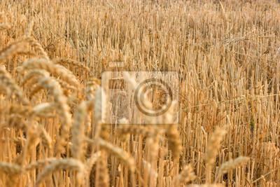 Fototapeta Po skoszonej pszenicy pozostaje ściernisko