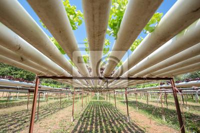 Fototapeta Pod hydroponicznych warzyw