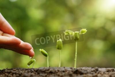 Fototapeta Podtrzymywanie i podlewanie młodych roślin niemowląt rosnących w kolejności kiełkowania na żyznej glebie z naturalnym zielonym tłem