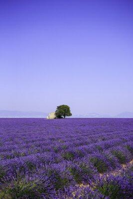 Fototapeta pola kwitnących kwiatów lawendy w starym wiejskim - Provence, Francja