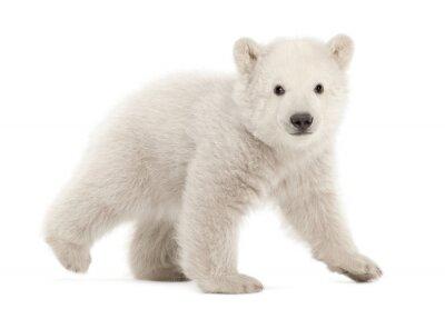 Fototapeta Polar bear cub, Ursus maritimus, 3 miesiące