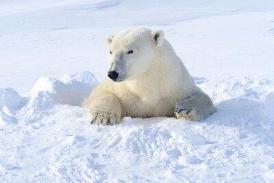 Fototapeta Polar bear mother coming out freshly opened den