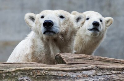 Fototapeta Polar Bear Rodzina