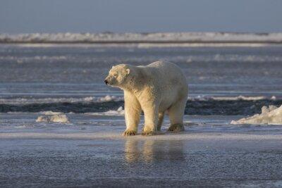 Fototapeta Polar Bear sprawdzenie rzeczy