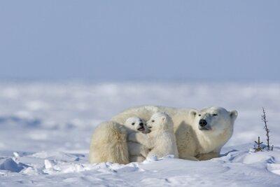 Fototapeta Polar niedźwiedzica z młodymi