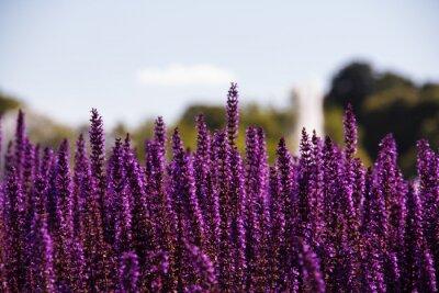 Fototapeta Pole fioletowymi kwiatami
