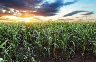 Fototapeta Pole kukurydzy