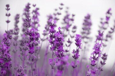 Fototapeta Pole kwiatów lawendy