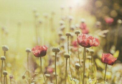 Fototapeta Pole maku kwiaty, styl vintage