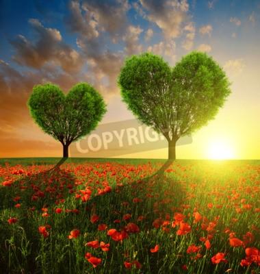 Fototapeta Pole maku z drzewami w kształcie serca o zachodzie słońca. Walentynki.