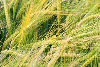 Fototapeta Pole pszenicy