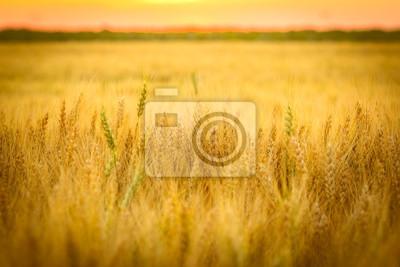 Fototapeta Pole pszenicy i słońca poniżej horyzontu