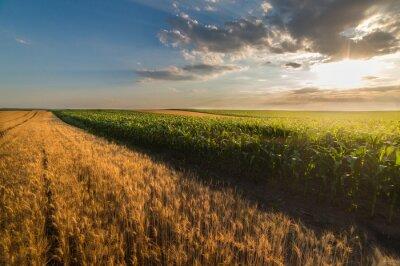 Fototapeta Pole pszenicy w słoneczny letni dzień