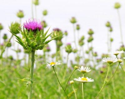 Fototapeta Pole z Silybum marianum (Milk Thistle), roślin leczniczych.