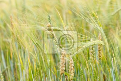 Fototapeta Pole zbóż