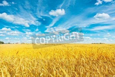 Fototapeta Pole złotej pszenicy i nieba