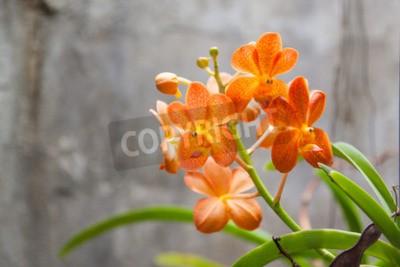 Fototapeta Pomarańczowe kwiaty orchidei
