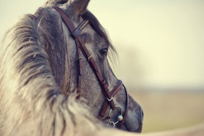 Fototapeta Portrait of a sports stallion
