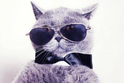 Fototapeta Portrait of British shorthair gray cat wearing sunglasses