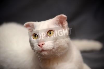 Portret Biały Kot Rasy Ukrainian Levkoy Oryginalna Gatunków