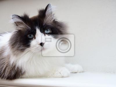Portret Brązowy Bi Kolor Długowłosy Kot Ragdoll Z Niebieskimi