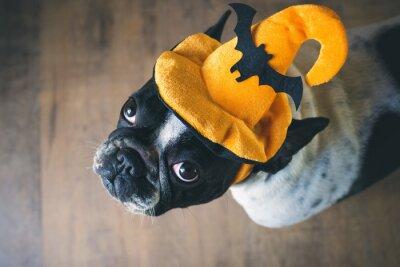 Fototapeta Portret Buldog francuski z kapelusz halloween
