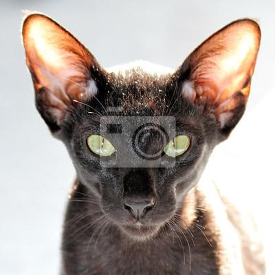 Portret Czarny Kot Orientalny Fototapeta Fototapety Piękny