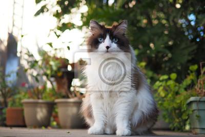 Portret Duży Puszysty Długowłosy Brązowy Biały Kot Ragdoll Z