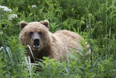 Fototapeta Portret dzikich wolnego roamingu niedźwiedzia brunatnego