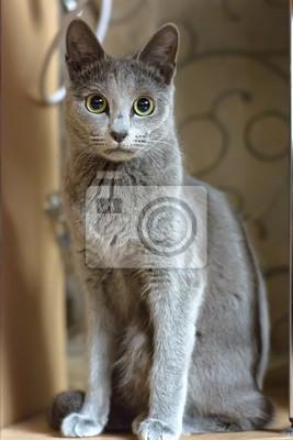 Portret Kot Siedzi Młody Pies Krwi Rasowy Kota Rasy Rosyjskie