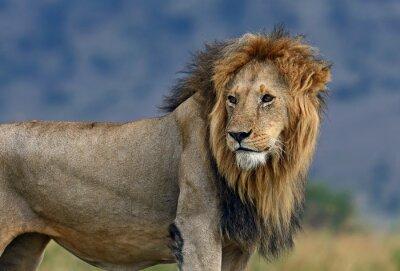 Fototapeta Portret lwa afrykańskiego